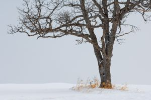 Tree in winter field, Hokkaido, Japan.
