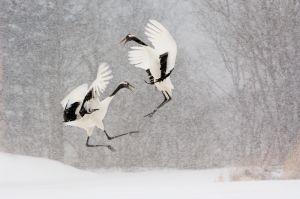 Red-crowned cranes, Hokkaido, Japan.