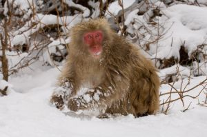 Japanese macaque (snow monkey) at Jigokudani Hot Springs, Japan.