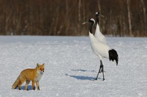 A Japanese red fox walks past a pair of red-crowned cranes, Hokkaido, Japan.
