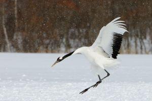 Red-crowned crane, Hokkaido, Japan.