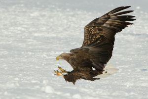 White-tailed eagle, Hokkaido, Japan..