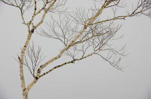 Tree in winter, Lake Mashu, Hokkaido, Japan.