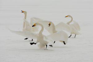 Whooper swans, Lake Kussharo, Hokkaido, Japan.