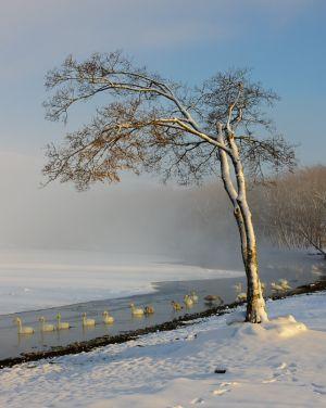 Whooper swans and winter scene, Lake Kussharo, Hokkaido, Japan.