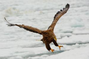 White-tailed eagle, Rausu, Hokkaido, Japan.
