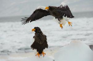 Steller's sea eagle, Rausu, Hokkaido, Japan.