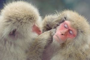 Japanese macaque (snow monkey) at Jigokudani Hot Springs, Japan.