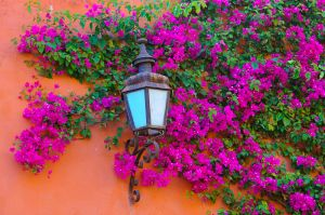 Bougainvillea and lamp, San Miguel de Allende, Mexico.