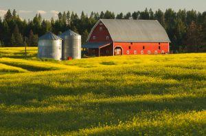 Barn and canola field, near Moscow, Idaho.