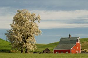 Red barn and flowering tree, Washington.