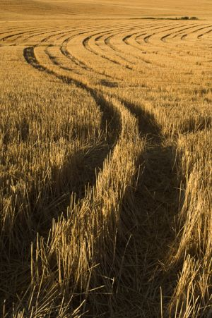 Tracks in havested wheat field, Washington.