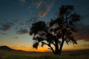 Tree at sunset, Washington.