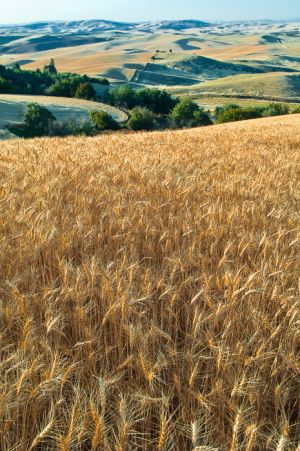 Wheat field, Washington.