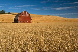 Barn and wheat field, Washington.