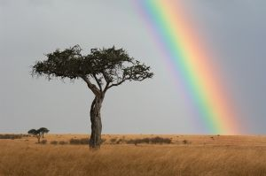 Tree and rainbow, just after rainstorm, Masai Mara, Kenya.