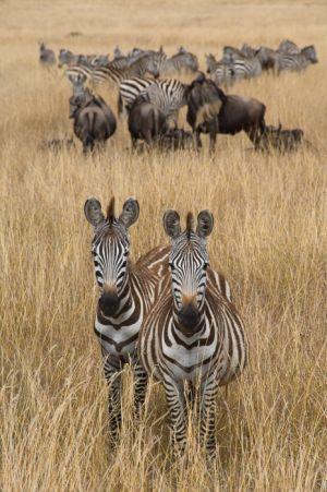 Common zebra, Masai Mara, Kenya.