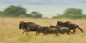 Wildebeest running, Masai Mara, Kenya.