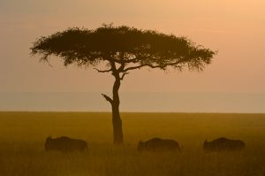 Balanites tree and wildebeest, Masai Mara, Kenya.