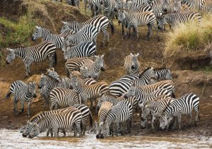 Zebra starting to migrate across the Mara River, Masai Mara, Kenya.