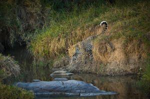 Leopard, Masai Mara, Kenya.