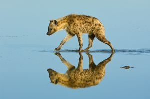 Spotted hyaena crossing shallow area in Lake Nakuru National Park, Kenya.