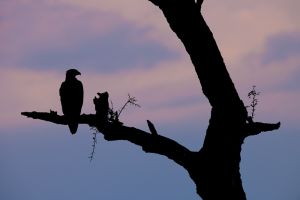 A tawny eagle is silhouetted against the twilight sky, in Masai Mara, Kenya.