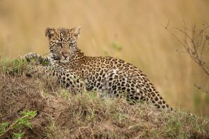 A young leopard rests alertly on top of an old termite mound, Masai Mara, Kenya.