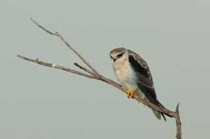 A black-shouldered kite surveys from its perch, Masai Mara, Kenya.