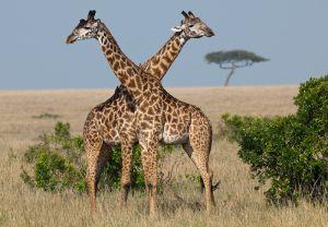 Common giraffe, Masai Mara, Kenya.
