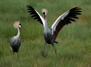 Crowned crane pair with male doing courtship display, Kenya.
