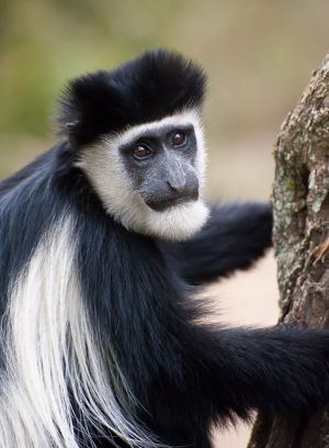 Black and white colobus monkey, Kenya.