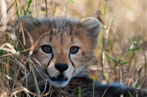 A cheetah cub hides in the grass, Masai Mara, Kenya.