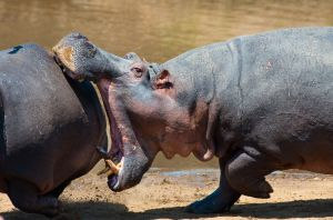 Hippos have a disagreement, Masai Mara, Kenya.