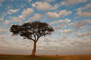 Ficus tree and morning sky; Masai Mara, Kenya.