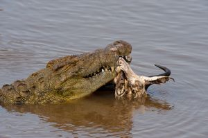 A Nile crocodile with a wildebeest skull, in the Mara River, Masai Mara, Kenya.
