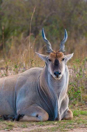 Eland, Masai Mara, Kenya.