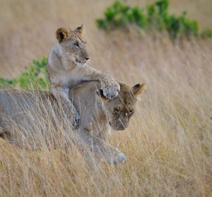 Lion cub playing with female lion, Masai Mara, Kenya.