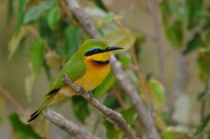 Little bee-eater, Masai Mara, Kenya.