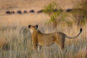 Lioness hunting, with wildebeests in background, Masai Mara, Kenya.