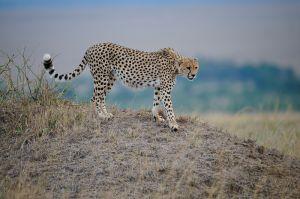 Cheetah, Masai Mara, Kenya.