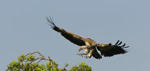 Ruppell's vulture, Masai Mara, Kenya.