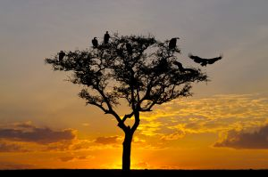 Vultures in tree at sunset, Masai Mara, Kenya.