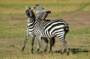 Common zebra males fighting, Masai Mara, Kenya.