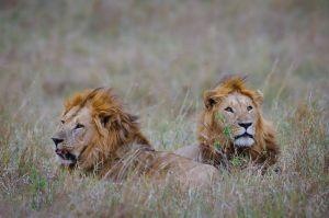 Old lions, Masai Mara, Kenya.