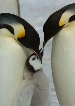 Emperor penguins with chick.