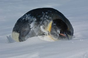 Emperor penguin in blowing snow.