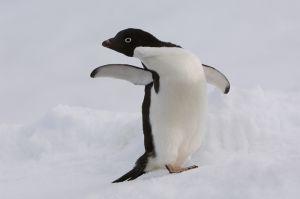 Adelie penguin.