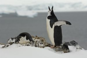 Chinstrap penguins nesting in late season snow.