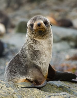 Young female Antarctic fur seal, South Georgia.